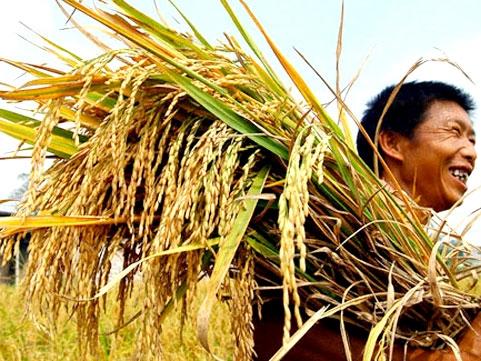 Kết quả đánh giá SITTO GIVE – BUT 18SL và SITTO KEELATE RICE 20SL trên cây lúa
