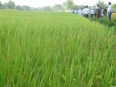 Giải pháp canh tác lúa trên vùng đất nhiễm mặn