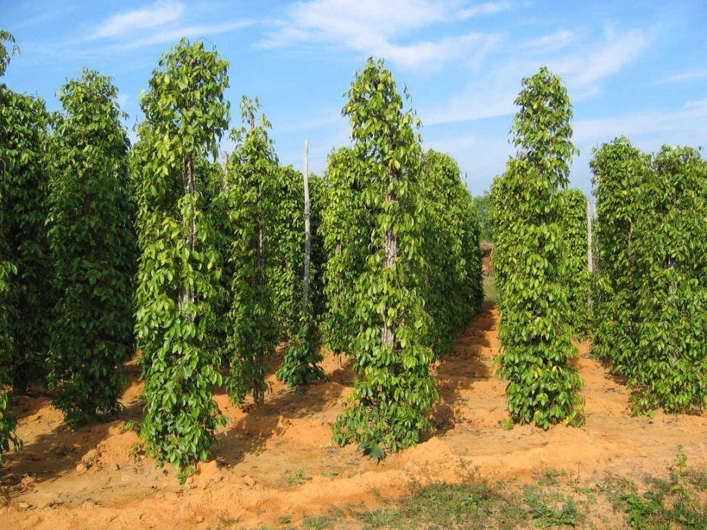 Sự quan trọng của trung và vi lượng đối với cây trồng