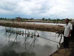 Phương pháp xử lý phèn trong ao tôm mùa mưa