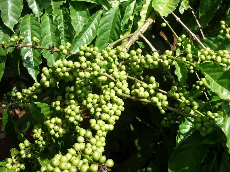 Nông dân trồng cafe phản hồi về phân bón vi lượng tổng hợp