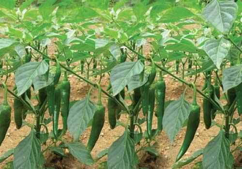 Quy trình trồng ớt đạt năng suất cao