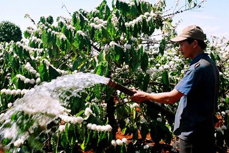 Chăm sóc cafe giai đoạn ra hoa đậu trái