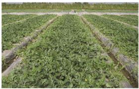 Kỹ thuật trồng và chăm sóc dưa hấu đón noel và tết nguyên đán