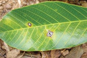 Bệnh vàng rụng lá trên cây cao su đang hoành hàng