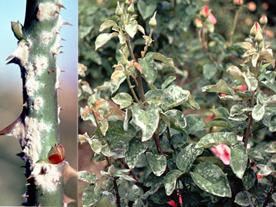 Bệnh phấn trắng trên hoa hồng
