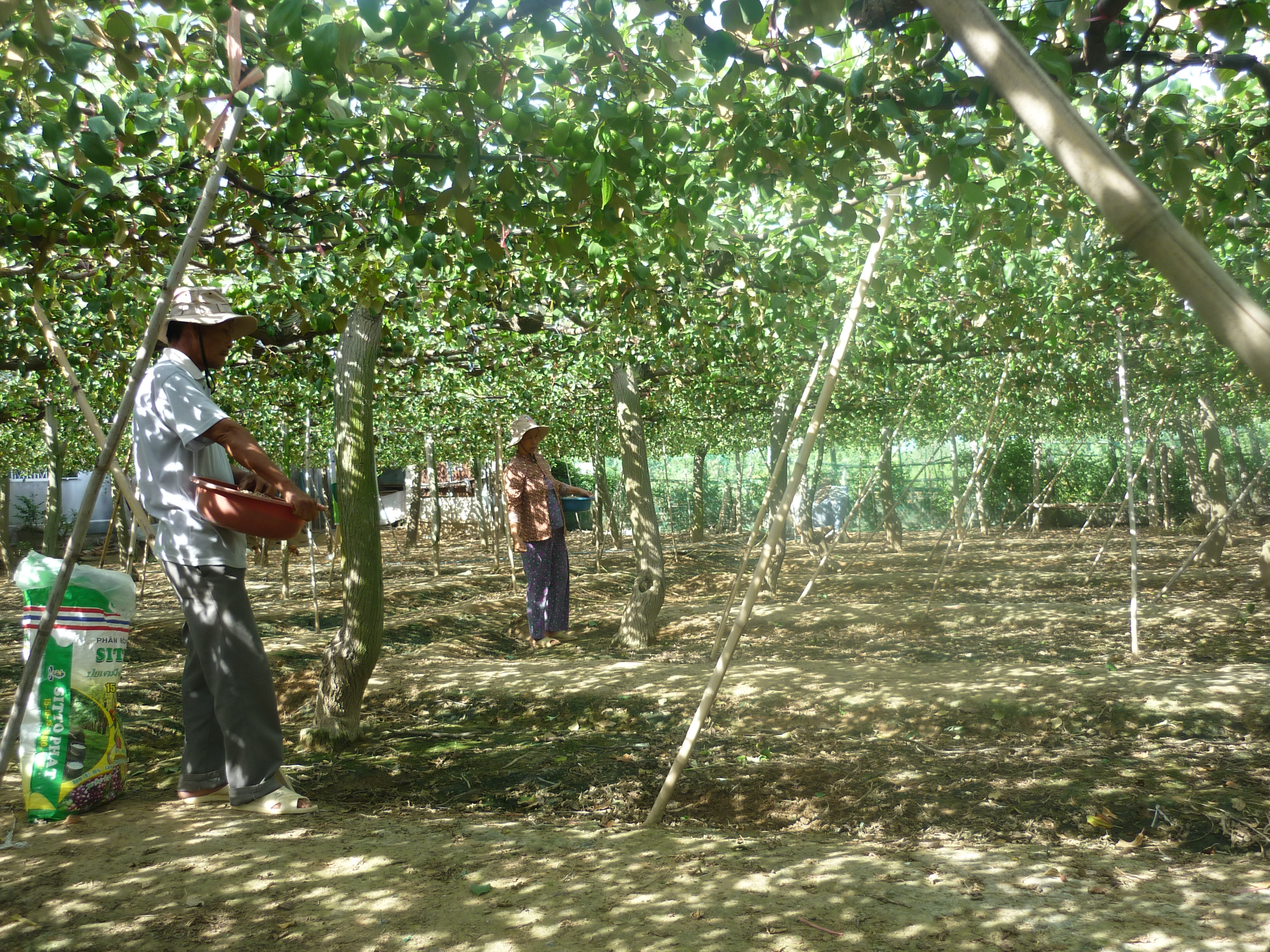 Kỹ thuật trồng và chăm sóc cây táo
